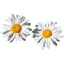 Two pure white daisy flowers. flower photo art. Photographic Print