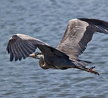 Grey Heron in flight by John C. Murphy