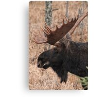Bull moose - Algonquin Park, Ontario Canvas Print