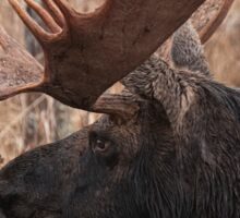 Bull moose - Algonquin Park, Ontario Sticker