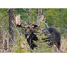 Bull moose - Algonquin Park, Ontario Photographic Print