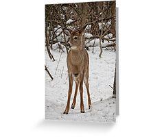 White - tail Deer - Ottawa, Ontario Greeting Card