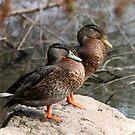 Quack Quack! by LisaRoberts