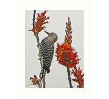 Gila Woodpecker on Ocotillo Art Print