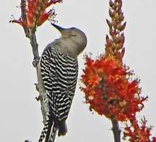 Gila Woodpecker on Ocotillo by gcampbell