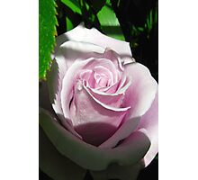 Sterling rose Photographic Print