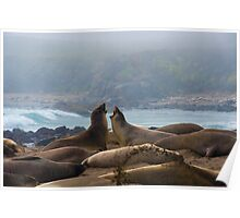 Two young Northern Elephant Seals,  mirounga angustirostris, challenge each other. Poster