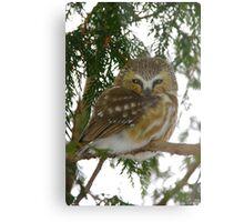 Northern Saw - Whet Owl - Ottawa, Ontario Metal Print