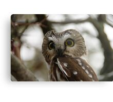 Northern Saw - Whet Owl - Amherst Island, Ontario Metal Print