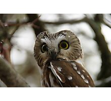 Northern Saw - Whet Owl - Amherst Island, Ontario Photographic Print