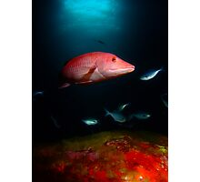 Pig Fish, Poor Knights, NZ Photographic Print