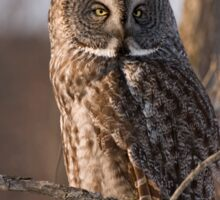 Great Grey Owl, Ottawa, Ontario Sticker