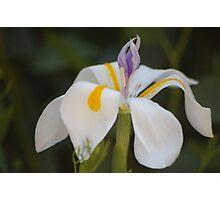 Flower dutch iris Photographic Print