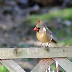 Lady Cardinal on the Fence by Margie Avellino