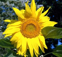 My Giant Sunflower  by Jodie Keefe