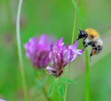 Busy Bee  by NaturesEarth
