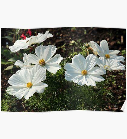 White Garden Beauties Poster