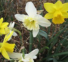 Debating Daffodils by MarianBendeth