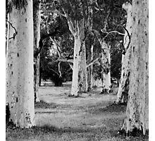 White Gums, Beechworth Golf Course Photographic Print
