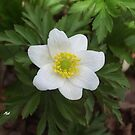 Anemone nemorosa by Edyta Magdalena Pelc