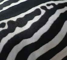Stripes of a zebra by Joanne Dillon