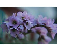 Soft Purple... Free State, South Africa Photographic Print