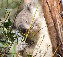Koala by Jennifer Saville