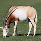 Scimitar horned oryx  by rhallam