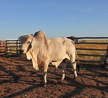 Bob the Brahman by Barbara Harris