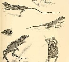 The Reptiles of British India by Albert C L G Gunther 1864 0507 Sitana Minor, Japalura Swinhonis, Trapelus Megalonyx, Calotes Nigrilabris, etc by wetdryvac