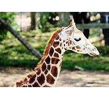 Giraffe 17 Photographic Print