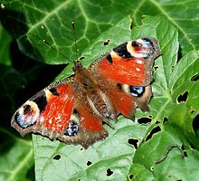 Peacock butterfly by rhallam