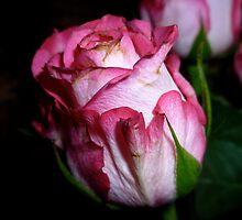 Rosebud by hilarydougill