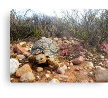 Leopard Tortoise Metal Print