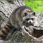 Coon by MindsImage