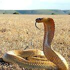 Cape Cobra  by Robbie Labanowski