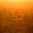 Backlit Ostriches by Robbie Labanowski