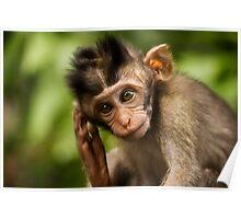 Macaca Fascicularis Poster