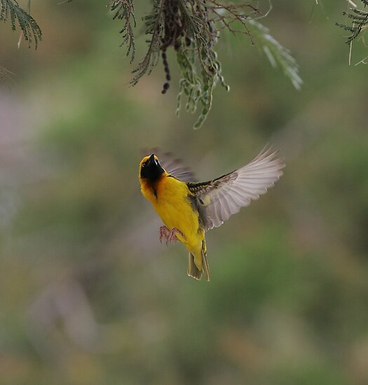 Speke&#x27;s Weaver 2 by David Clarke
