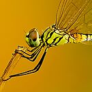 The Dragonfly by Mukesh Srivastava