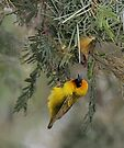 """Speke's Weaver 3 - 'What do you think of it so far?"""" by David Clarke"""