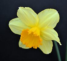A Single Daffodil by Kathleen Brant