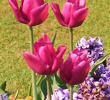 Pink Tulip Quartet - Hylands Park by MichelleRees