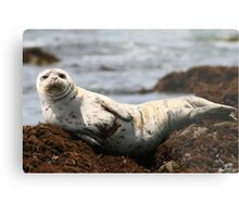 Injured White Seal Metal Print