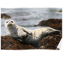 Injured White Seal Poster