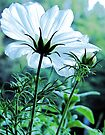 Cosmos - First To Flower --- Bridgton,  Maine by T.J. Martin