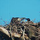 Mother Eagle, Feeding Junior by Eaglelady