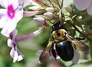 Carpenter Bee by Laurie Minor