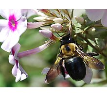 Carpenter Bee Photographic Print