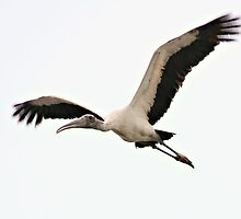 Up, Up, and Away! Wood Stork by SuddenJim